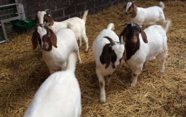 Young and Healthy BOER GOATS FOR SALE